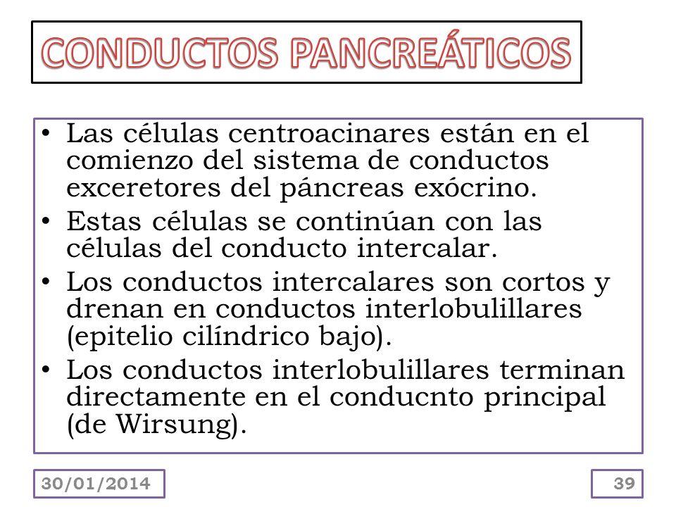 Las células centroacinares están en el comienzo del sistema de conductos exceretores del páncreas exócrino. Estas células se continúan con las células