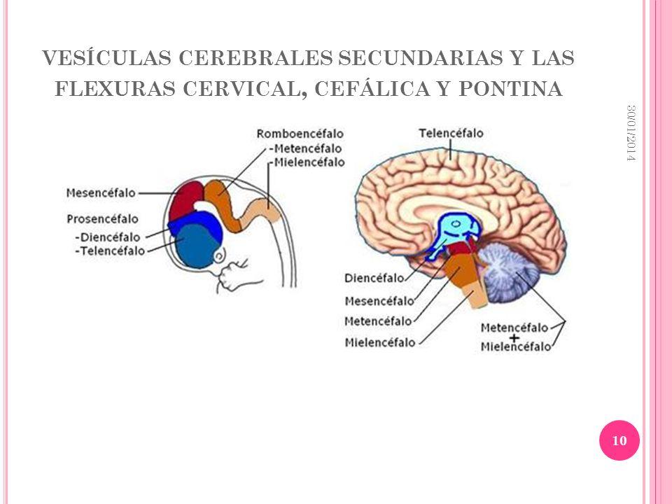 VESÍCULAS CEREBRALES SECUNDARIAS Y LAS FLEXURAS CERVICAL, CEFÁLICA Y PONTINA 30/01/2014 10