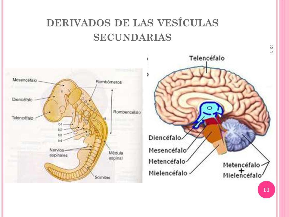 DERIVADOS DE LAS VESÍCULAS SECUNDARIAS 30/01/2014 11