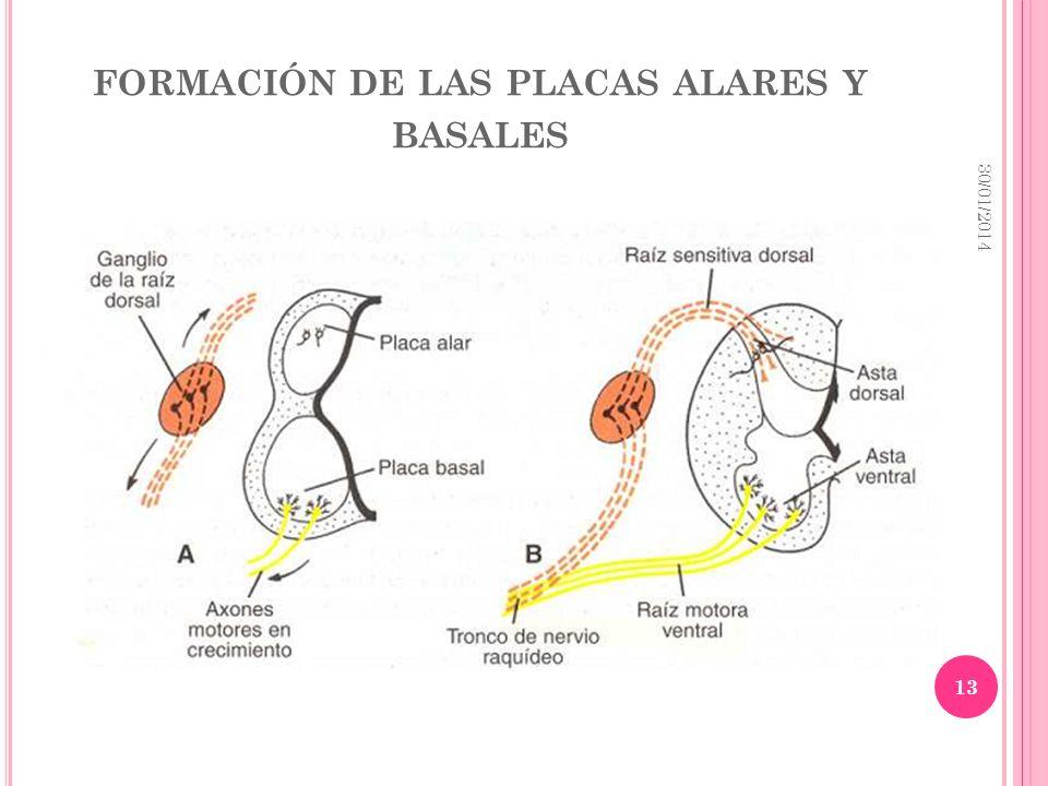 FORMACIÓN DE LAS PLACAS ALARES Y BASALES 30/01/2014 13