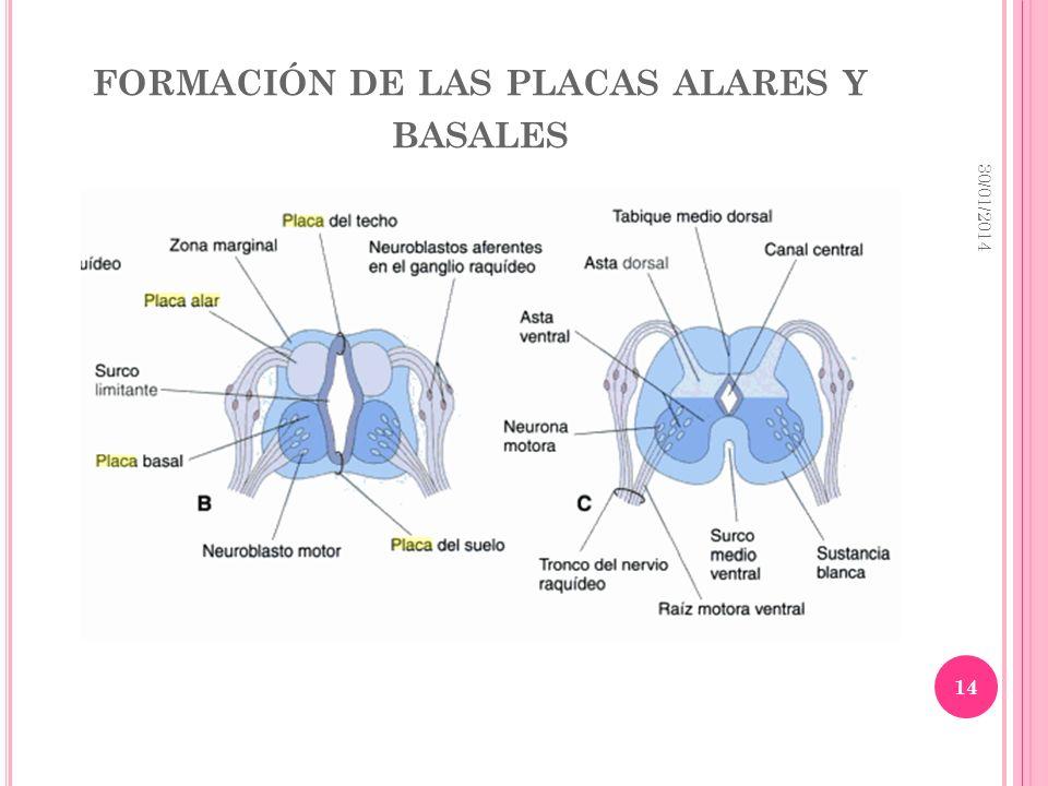 FORMACIÓN DE LAS PLACAS ALARES Y BASALES 30/01/2014 14