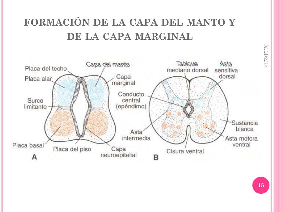 FORMACIÓN DE LA CAPA DEL MANTO Y DE LA CAPA MARGINAL 30/01/2014 15