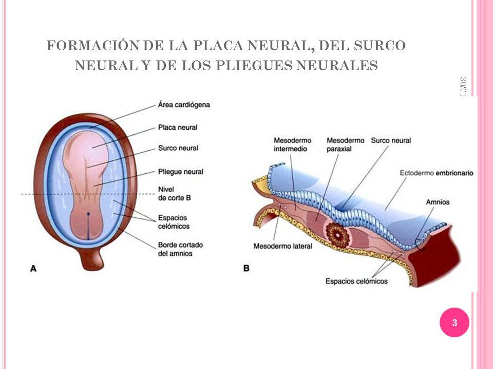 FORMACIÓN DE LA PLACA NEURAL, DEL SURCO NEURAL Y DE LOS PLIEGUES NEURALES 30/01/2014 3