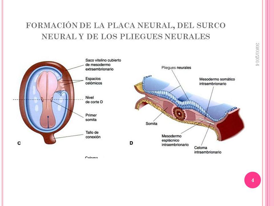 FORMACIÓN DE LA PLACA NEURAL, DEL SURCO NEURAL Y DE LOS PLIEGUES NEURALES 30/01/2014 4