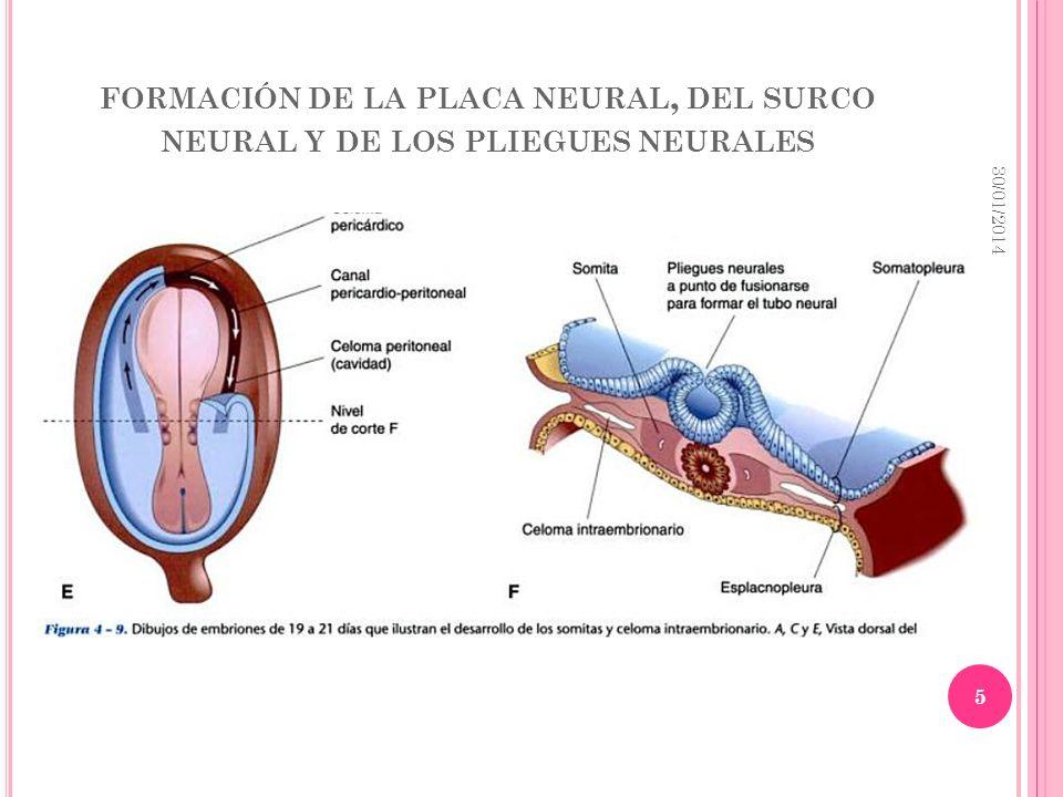 FORMACIÓN DE LA PLACA NEURAL, DEL SURCO NEURAL Y DE LOS PLIEGUES NEURALES 30/01/2014 5