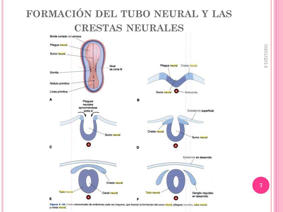 FORMACIÓN DEL TUBO NEURAL Y LAS CRESTAS NEURALES 30/01/2014 7