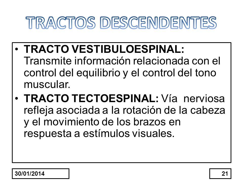TRACTO VESTIBULOESPINAL: Transmite información relacionada con el control del equilibrio y el control del tono muscular. TRACTO TECTOESPINAL: Vía nerv