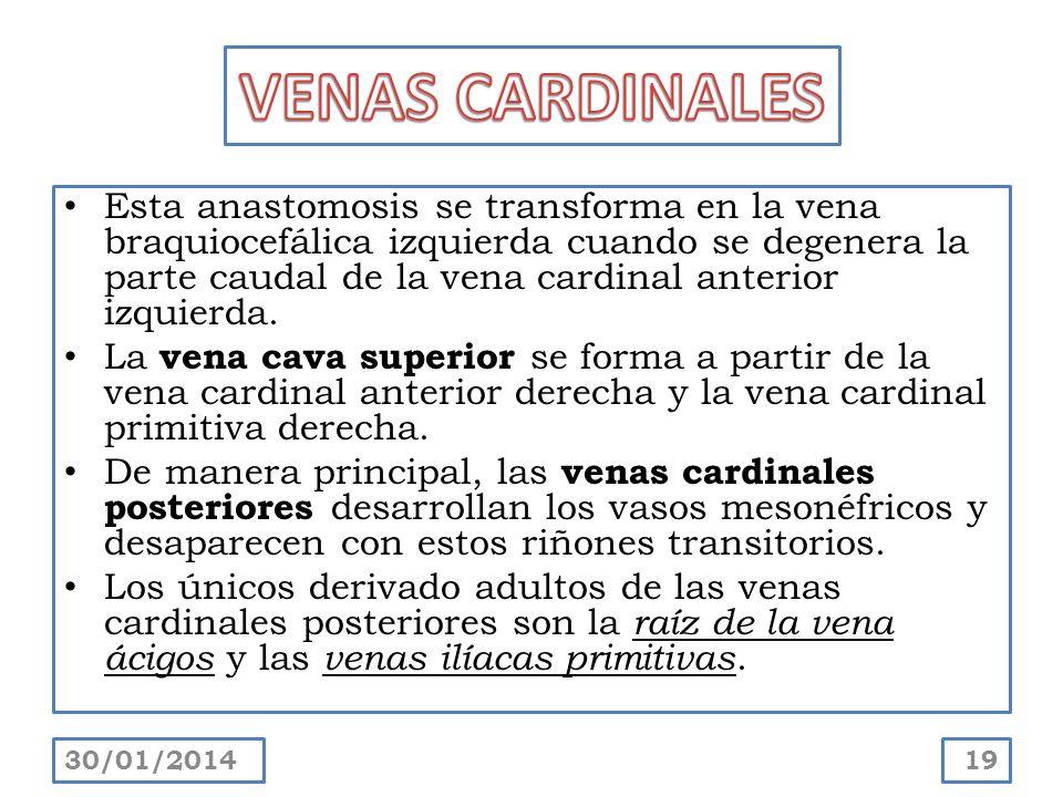 Esta anastomosis se transforma en la vena braquiocefálica izquierda cuando se degenera la parte caudal de la vena cardinal anterior izquierda. La vena