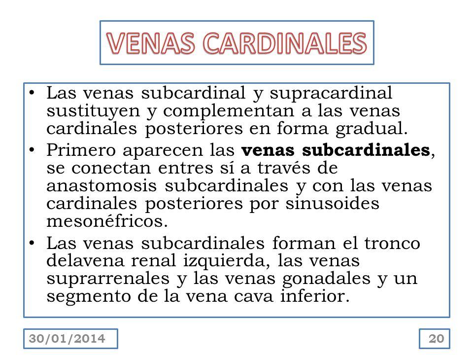 Las venas subcardinal y supracardinal sustituyen y complementan a las venas cardinales posteriores en forma gradual. Primero aparecen las venas subcar