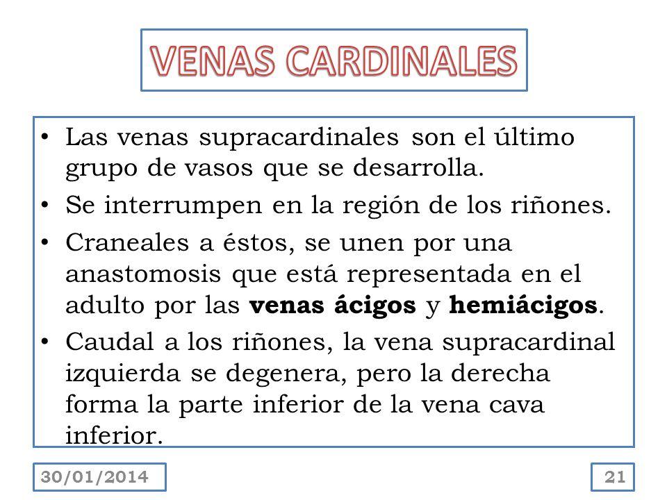 Las venas supracardinales son el último grupo de vasos que se desarrolla. Se interrumpen en la región de los riñones. Craneales a éstos, se unen por u
