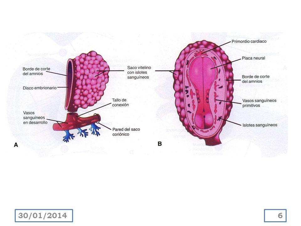 Durante la cuarta semana, a medida que se desarrollan los arcos faríngeos son regados por arterias los arcos aórticos del saco aórtico.