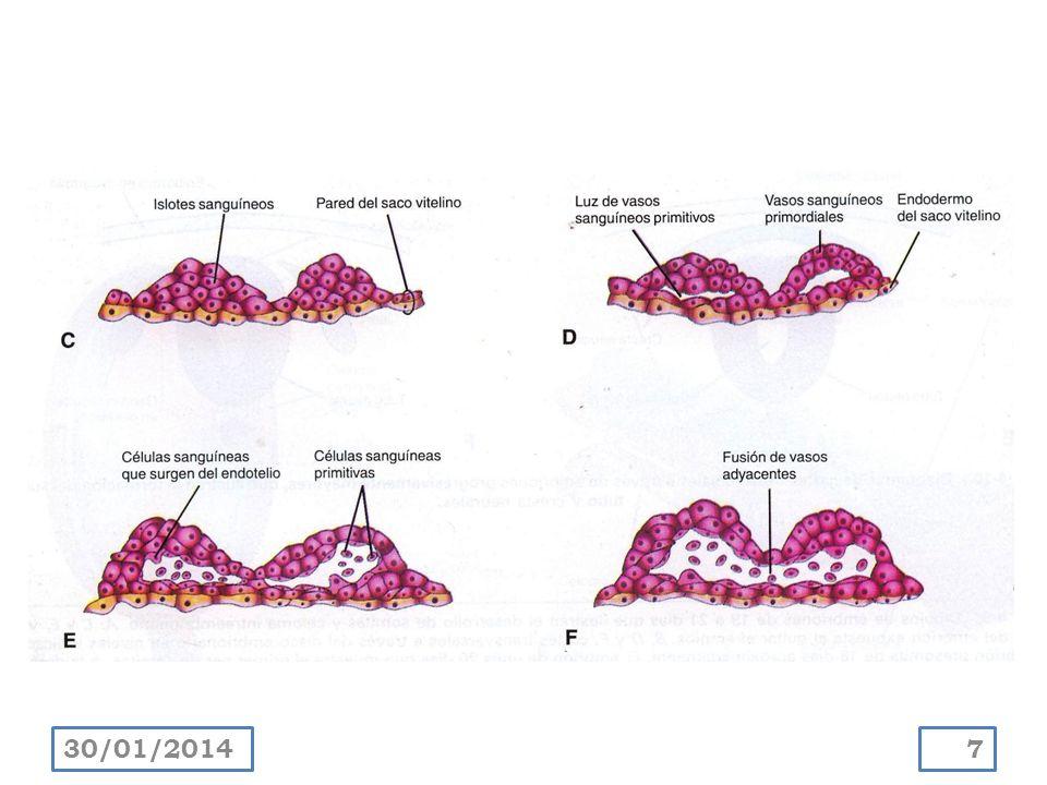 Las células sanguíneas se forman a partir de células endoteliales ( hemocitoblastos ), a medida que se desarrollan los vasos en saco vitelino y alantoides, al final de la tercera semana.