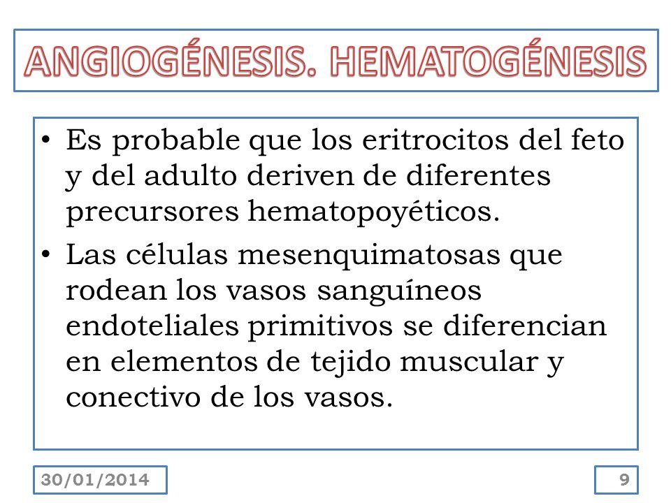 Es probable que los eritrocitos del feto y del adulto deriven de diferentes precursores hematopoyéticos. Las células mesenquimatosas que rodean los va