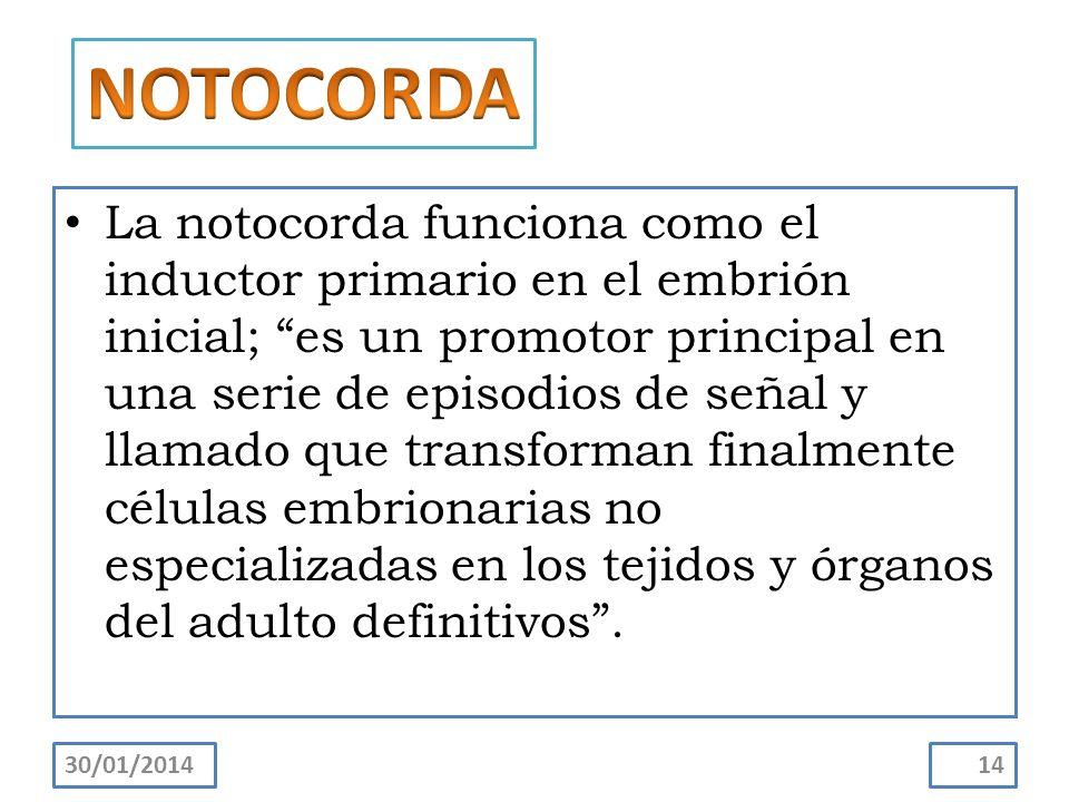 La notocorda funciona como el inductor primario en el embrión inicial; es un promotor principal en una serie de episodios de señal y llamado que trans