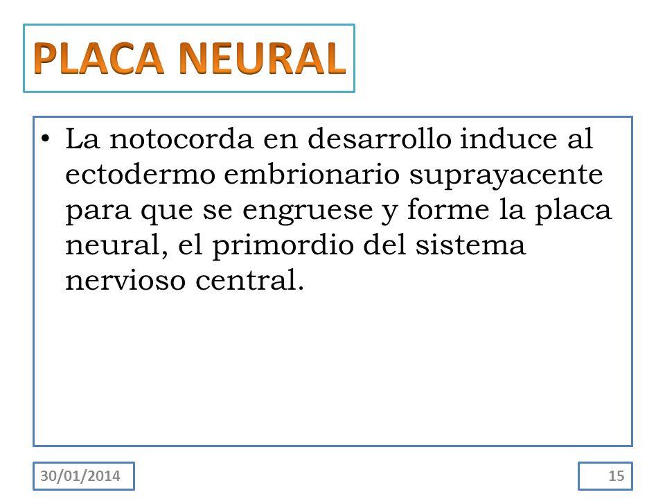 La notocorda en desarrollo induce al ectodermo embrionario suprayacente para que se engruese y forme la placa neural, el primordio del sistema nervios