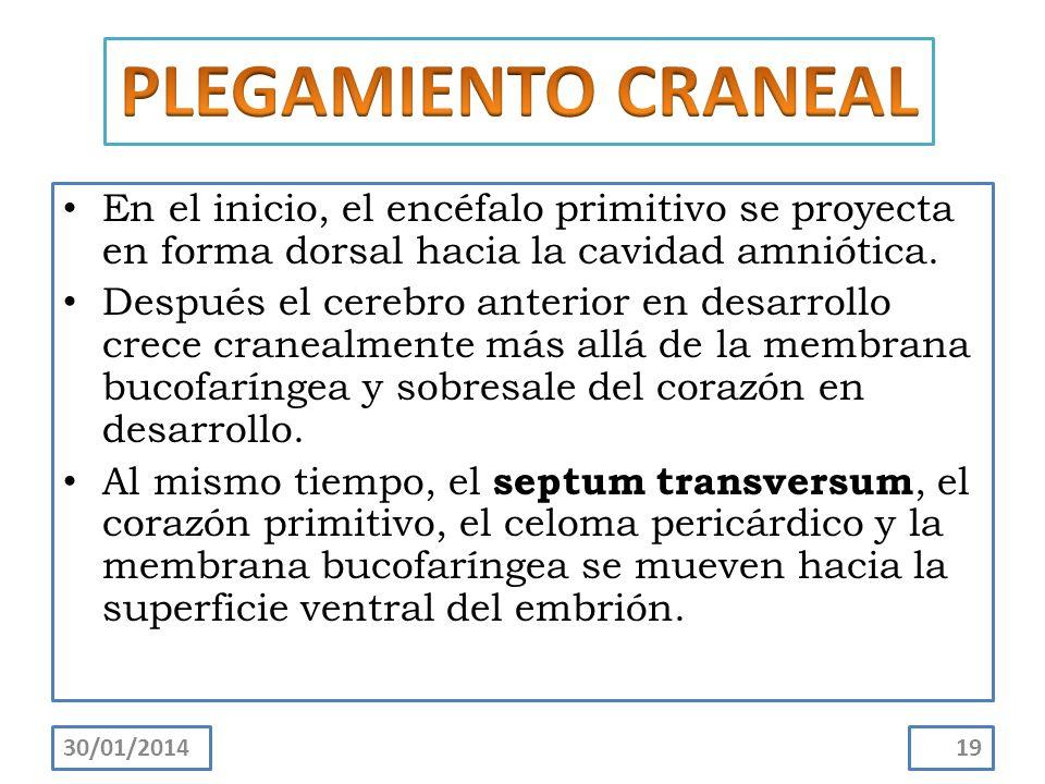 En el inicio, el encéfalo primitivo se proyecta en forma dorsal hacia la cavidad amniótica. Después el cerebro anterior en desarrollo crece cranealmen