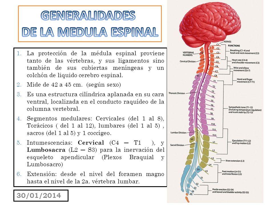 SUSTANCIA GELATINOSA : se sitúa en el ápice del asta gris posterior a lo largo de toda la médula espinal.