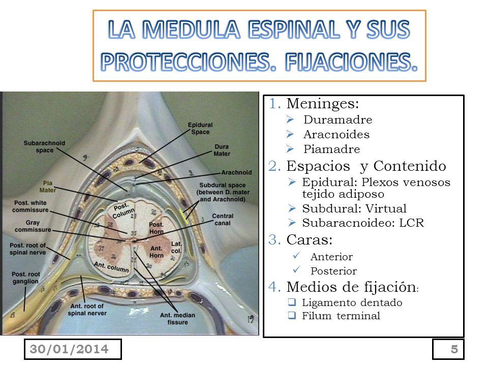 PIAMADRE: Se adhiere a la superficie de la médula espinal.