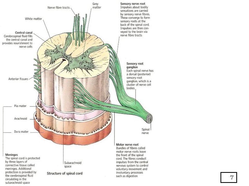 Está suspendida en la vaina dural por el ligamento dentado a cada lado.