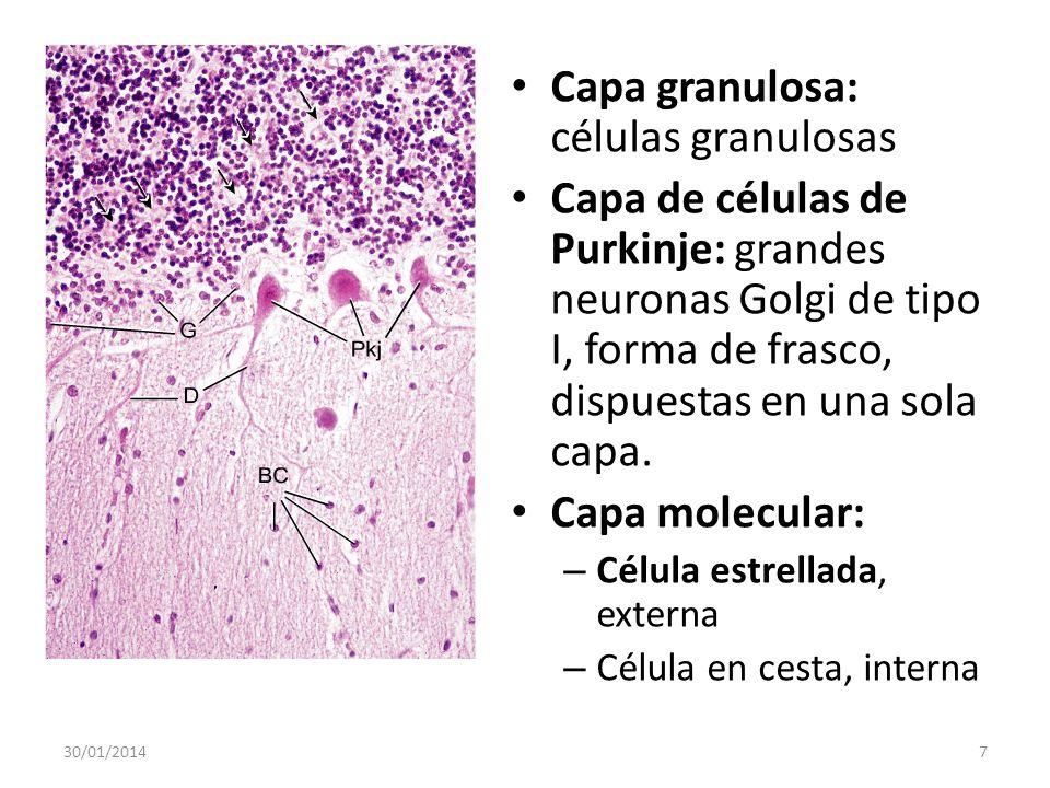 Capa granulosa: células granulosas Capa de células de Purkinje: grandes neuronas Golgi de tipo I, forma de frasco, dispuestas en una sola capa. Capa m