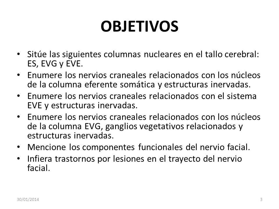 OBJETIVOS Sitúe las siguientes columnas nucleares en el tallo cerebral: ES, EVG y EVE. Enumere los nervios craneales relacionados con los núcleos de l