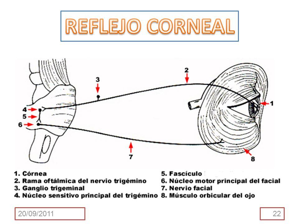 PROPIOCEPCIÓN DEL V Las fibras sensitivas transportan aferencias desde los husos neuromusculares a lo largo de la rama mandibular del nervio trigémino V 3.