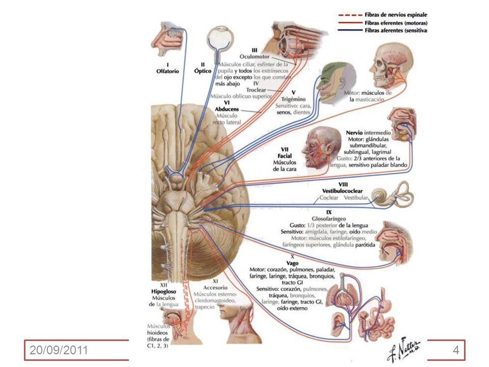 COLUMNAS FUNCIONALES Se reconocen 7 componentes funcionales (o columnas funcionales) de los nervios craneales.