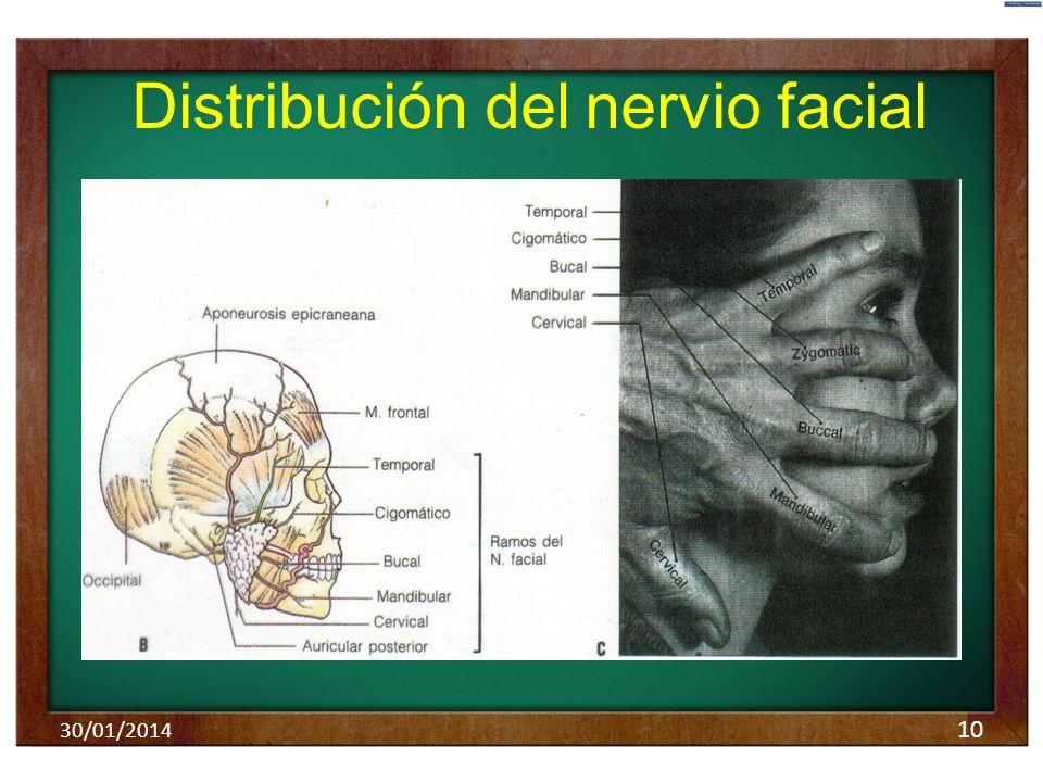 10 Distribución del nervio facial