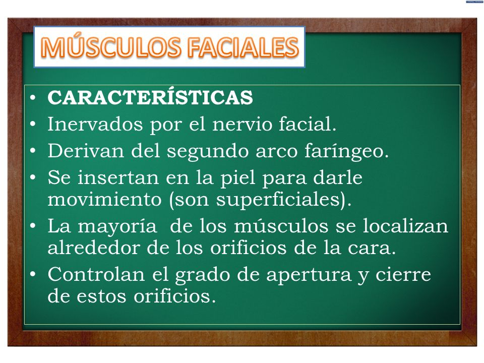 CARACTERÍSTICAS Inervados por el nervio facial. Derivan del segundo arco faríngeo. Se insertan en la piel para darle movimiento (son superficiales). L