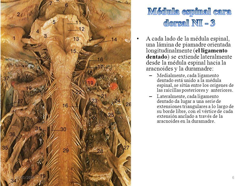 Que las raíces ventrales y dorsales son más cortas en los segmentos cervicales y torácicos.