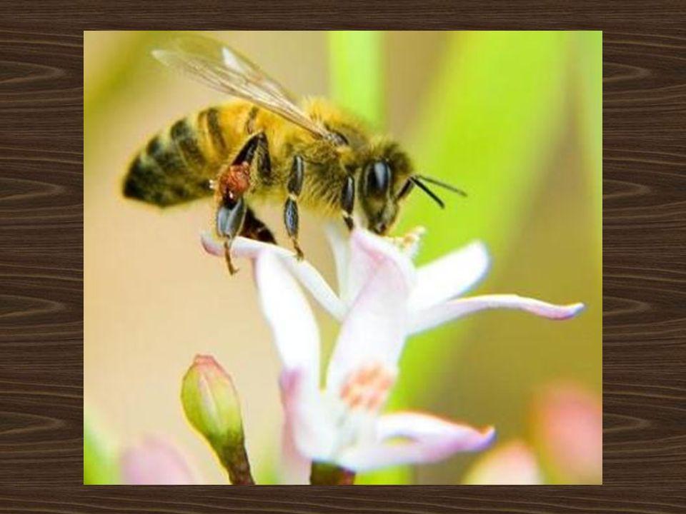 Atracción polínica por olor Los osmóforos son los responsables de dar olor a la flory se distribuyen por ella en forma de manchas.