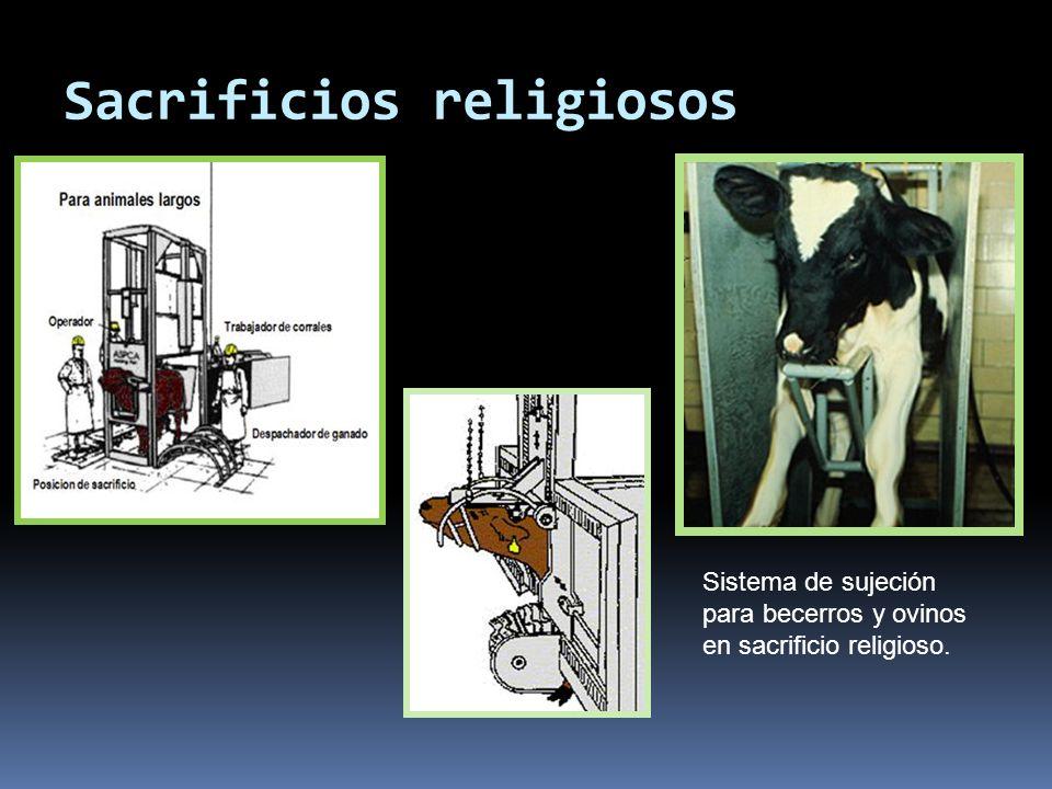 Sacrificios religiosos Sistema de sujeción para becerros y ovinos en sacrificio religioso.