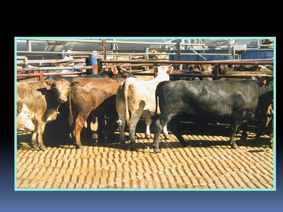 Área de Recepción de animales Medio de Transporte Corrales y Pasillos Animales Inspección Ante Mortem Faena de Urgencia Área de Ingreso y Sangría Desollado Estimulación Eléctrica Insensibilización y Desangrado Mantención y Aseo