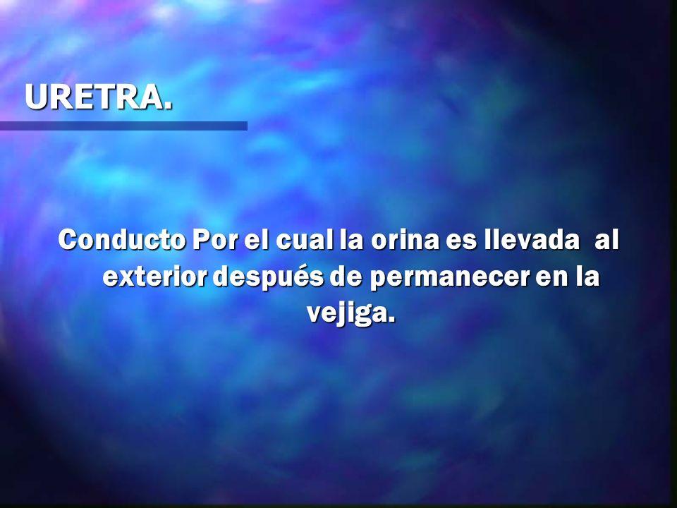 FEMENINAMASCULINA Es mas corta Es mas corta Vejiga - orificio uretral externo o/ meato uretral.