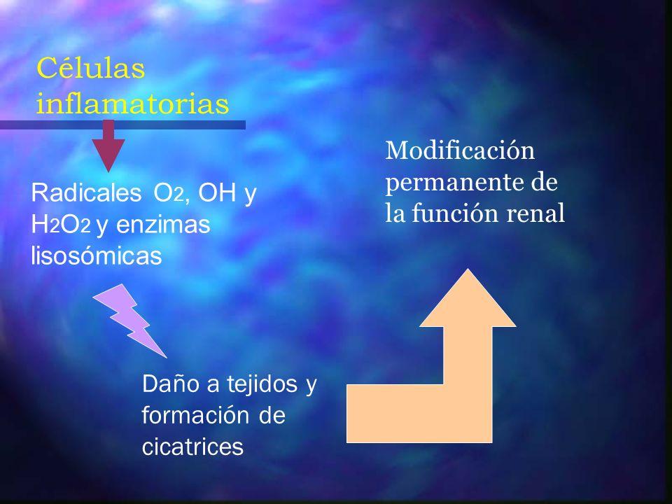 Reflujo intrarrenal de bacterias Endotoxinas bacterianas Quimiotaxis (granulocitos) Fagocitosis de bacterias Liberación de superóxido Muerte de las células tubulares Inflamación intesrticial CICATRIZ RENAL Muerte bacteriana Agregación de granulocitos Obstrucción capilar Isquemia renal Reperfusión