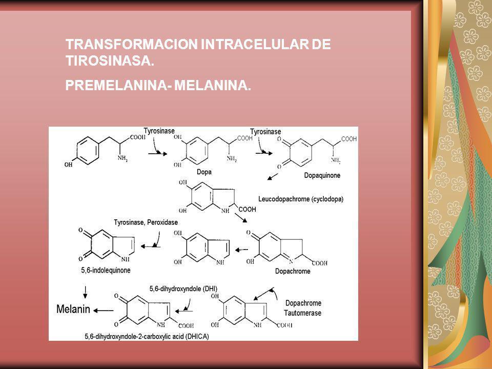TRANSFORMACION INTRACELULAR DE TIROSINASA. PREMELANINA- MELANINA.