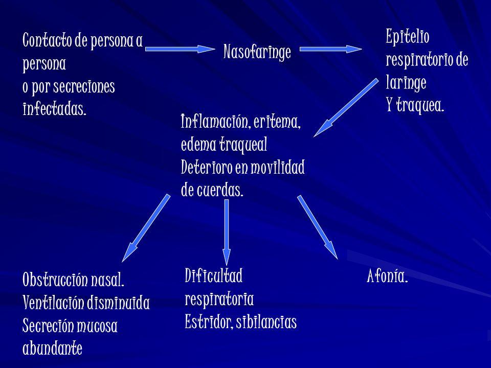 Contacto de persona a persona o por secreciones infectadas. Nasofaringe Epitelio respiratorio de laringe Y traquea. Inflamación, eritema, edema traque
