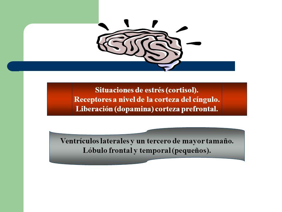 Situaciones de estrés (cortisol).Receptores a nivel de la corteza del cíngulo.