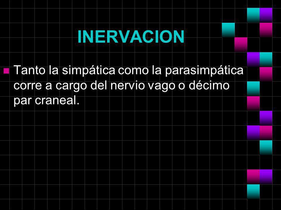 INERVACION n Tanto la simpática como la parasimpática corre a cargo del nervio vago o décimo par craneal.