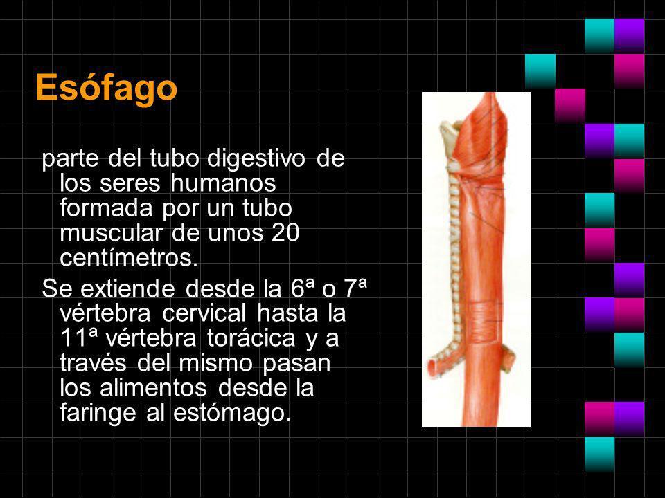 Esófago parte del tubo digestivo de los seres humanos formada por un tubo muscular de unos 20 centímetros. Se extiende desde la 6ª o 7ª vértebra cervi