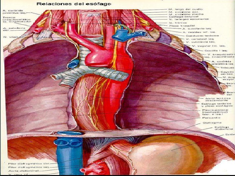 Porción cervical: n Anterior: tráquea (fibras de unión esófagotráquea) n Recurrentes del vago, tronco arterial braquiocefálico derecho.