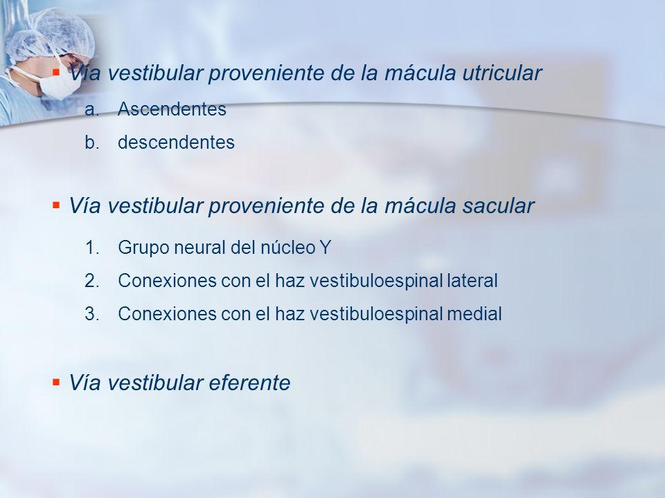 Vía vestibular proveniente de la mácula utricular a.Ascendentes b.descendentes Vía vestibular proveniente de la mácula sacular 1.Grupo neural del núcl