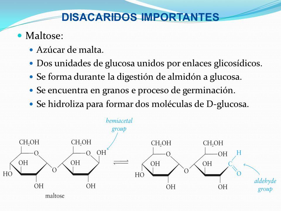 DISACARIDOS IMPORTANTES Maltose: Azúcar de malta. Dos unidades de glucosa unidos por enlaces glicosídicos. Se forma durante la digestión de almidón a