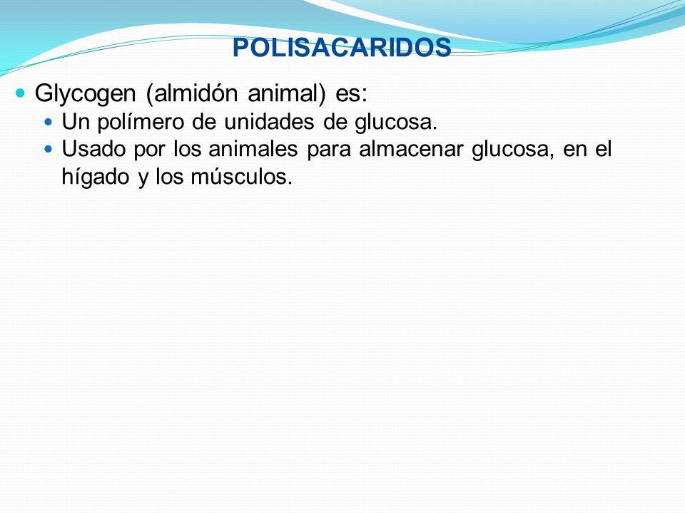 POLISACARIDOS Glycogen (almidón animal) es: Un polímero de unidades de glucosa. Usado por los animales para almacenar glucosa, en el hígado y los músc