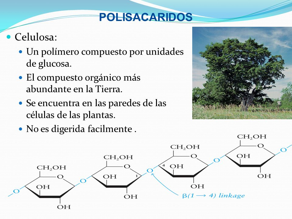 POLISACARIDOS Celulosa: Un polímero compuesto por unidades de glucosa. El compuesto orgánico más abundante en la Tierra. Se encuentra en las paredes d