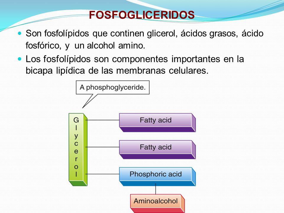 FOSFOGLICERIDOS Son fosfolípidos que continen glicerol, ácidos grasos, ácido fosfórico, y un alcohol amino. Los fosfolípidos son componentes important