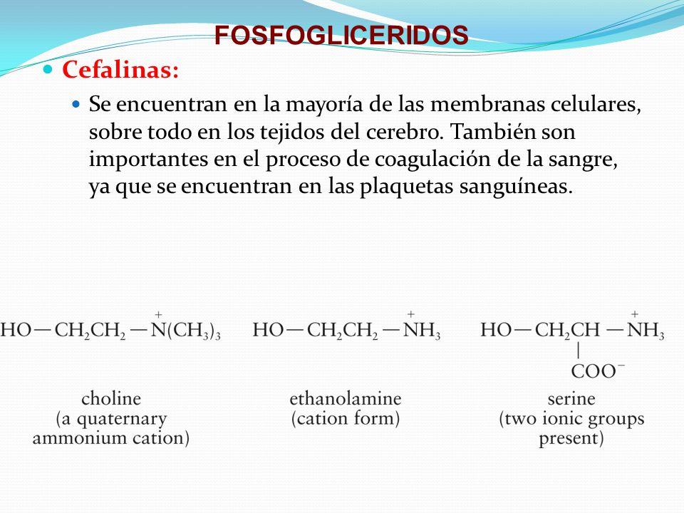 FOSFOGLICERIDOS Cefalinas: Se encuentran en la mayoría de las membranas celulares, sobre todo en los tejidos del cerebro. También son importantes en e