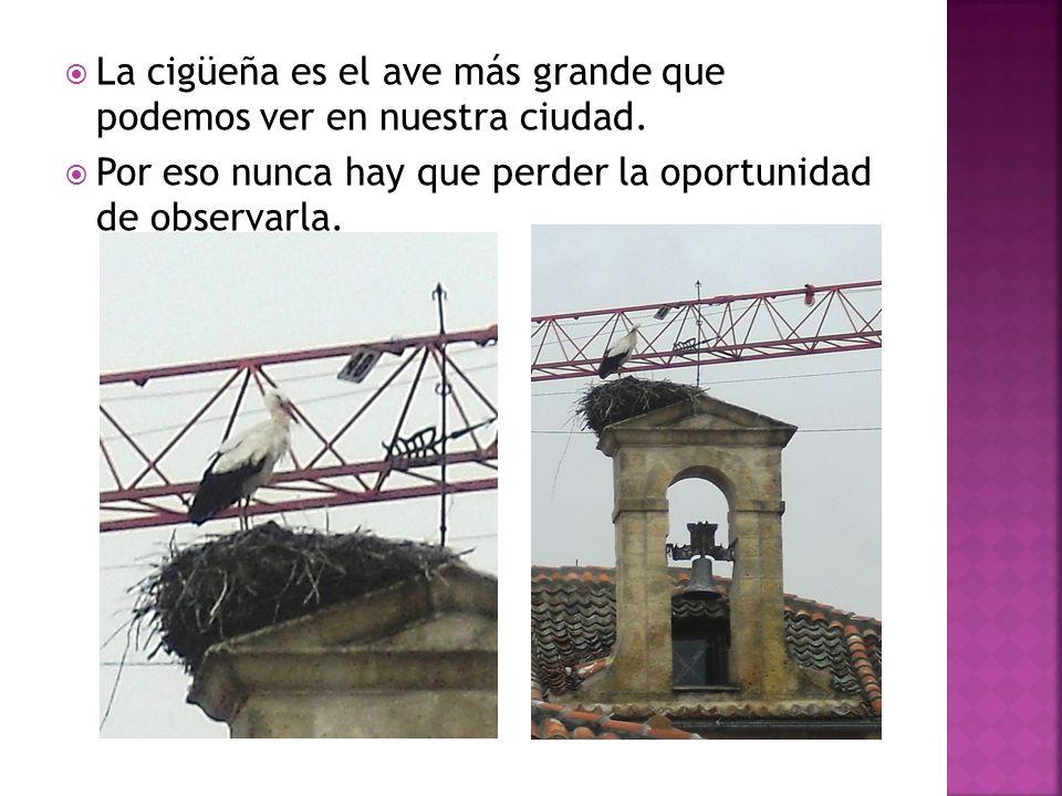 La cigüeña es el ave más grande que podemos ver en nuestra ciudad. Por eso nunca hay que perder la oportunidad de observarla.