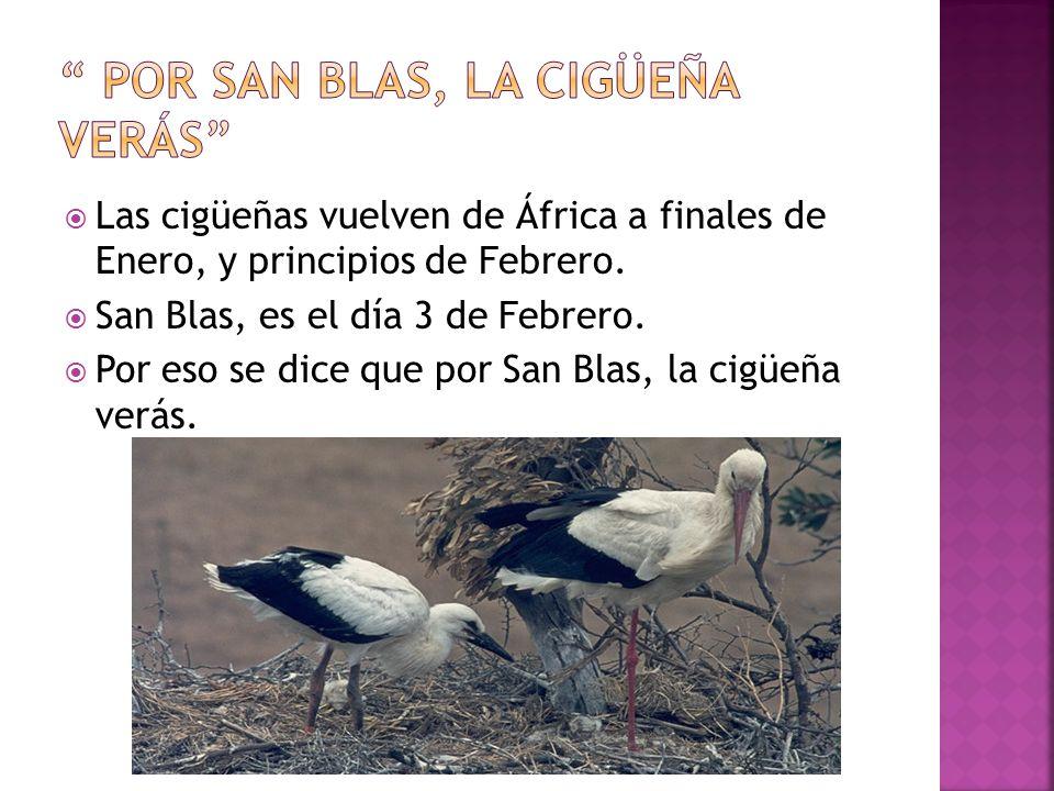 Las cigüeñas vuelven de África a finales de Enero, y principios de Febrero. San Blas, es el día 3 de Febrero. Por eso se dice que por San Blas, la cig