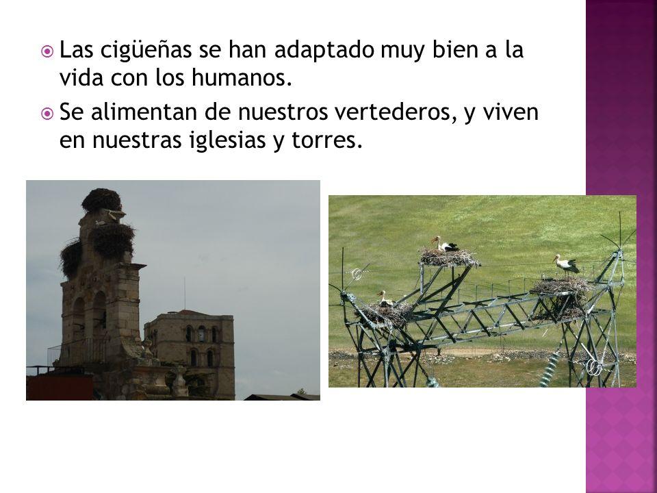 Las cigüeñas se han adaptado muy bien a la vida con los humanos. Se alimentan de nuestros vertederos, y viven en nuestras iglesias y torres.
